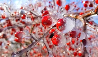 Ice-covered crab apples. Photo Credit: Paul Gustafson,